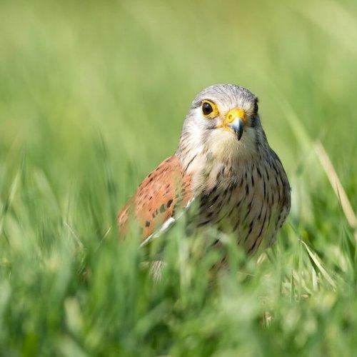 Greifvögel in Viersen (Wanderfalke)